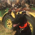Raven & His Pheasants (South Dakota)